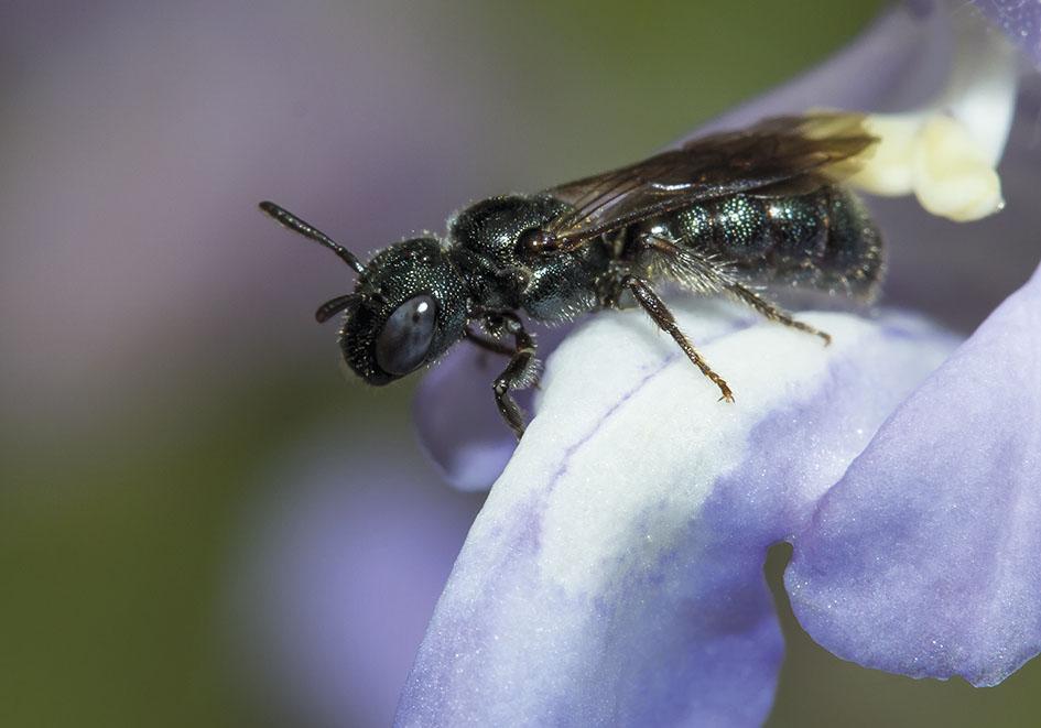 Ceratina cyanea - Gewöhnliche Keulhornbiene -  - Apiformes - Apidae - Bienen - Bees