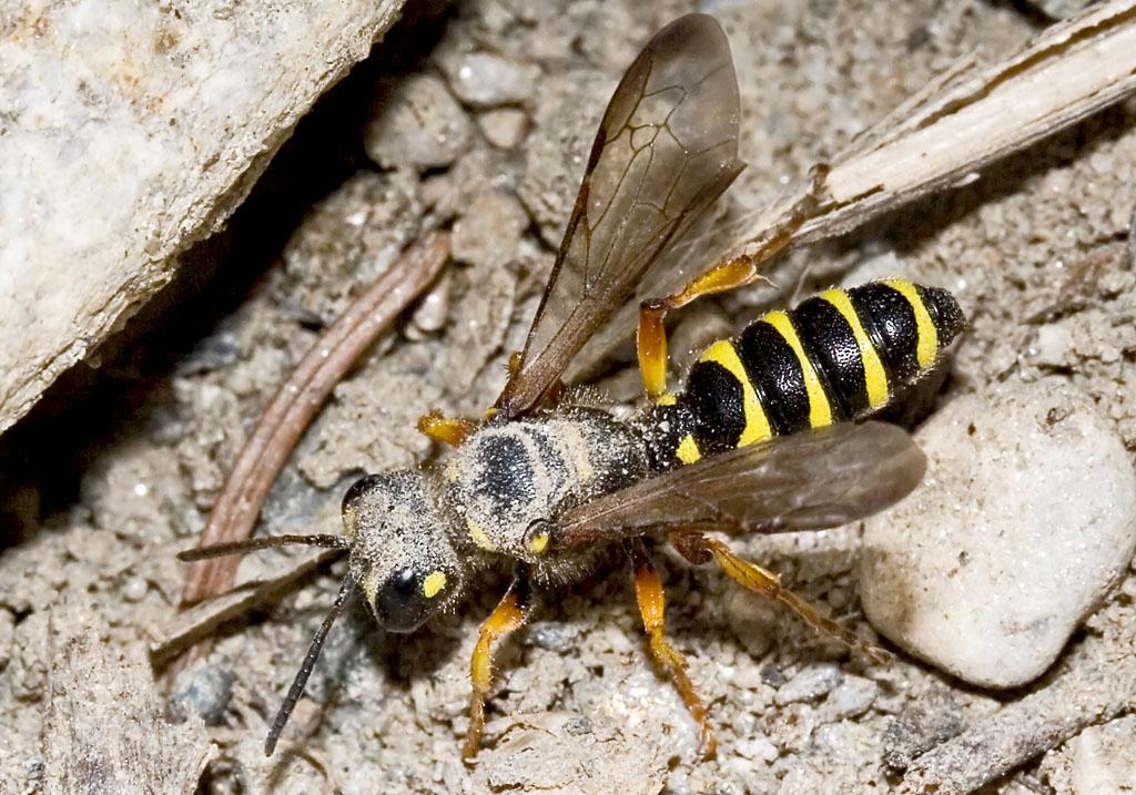 Cerceris arenaria- Sand-Knotenwespe -  - Spheciformes - Grabwespen - thread-waisted wasps