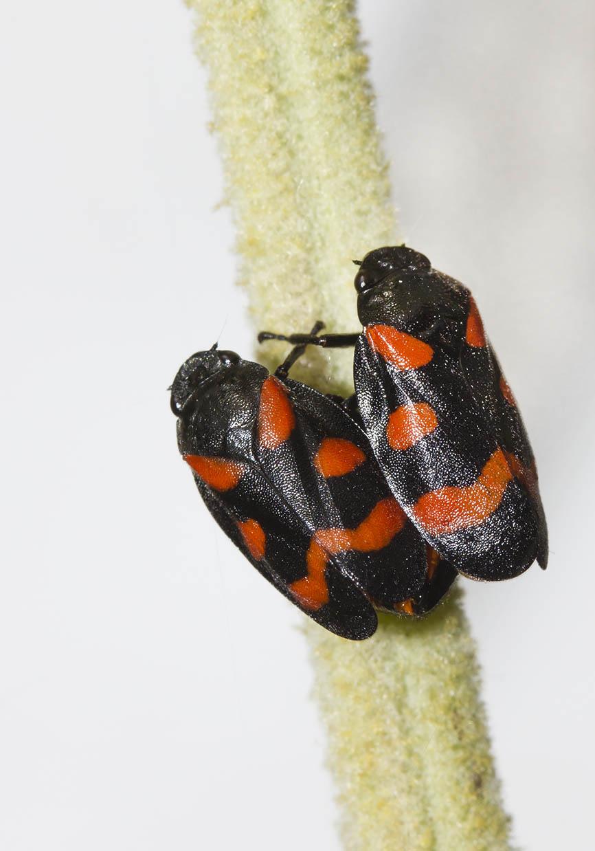 Cercopis cf. arcuata - Weinberg-Blutzikade - Fam. Cercopidae  (Blutzikaden) - Auchenorrhyncha - Zikaden - cicada