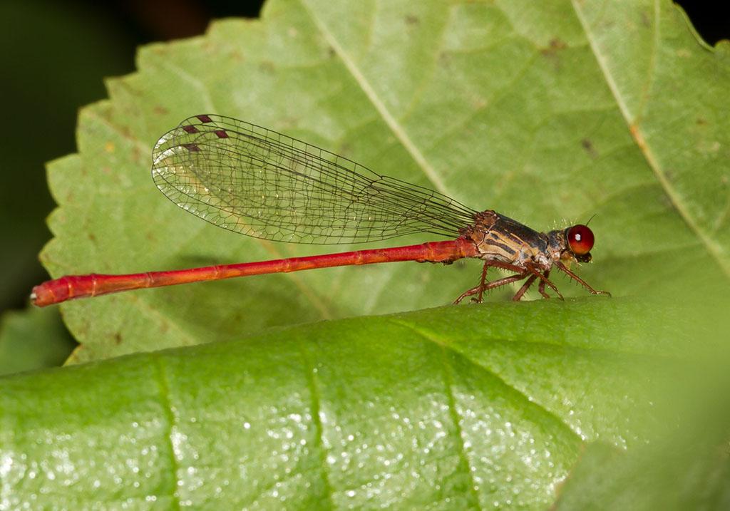 Ceriagrion tenellum - Scharlachlibelle - Fam. Coenagrionidae  -  Sardinien - Zygoptera - Kleinlibellen - damselflies