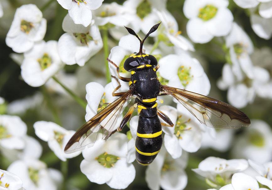Ceriana conopsoides - Fam. Syrphidae - Schwebfliegen - Brachycera (Fliegenartige) - Aschiza
