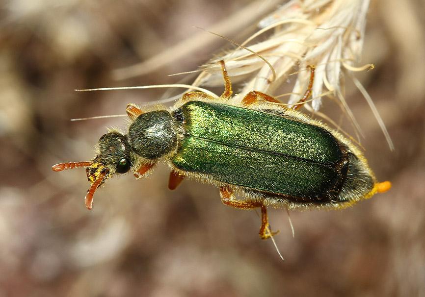 Cerocoma sp. - Lesbos - Meloidae - Ölkäfer - bilster beetles