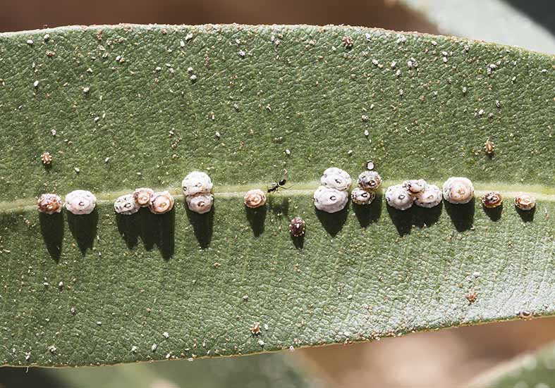 Ceroplastes rusci - Fam. Coccidae  - Tilos Nerium oleander - Sternorrhyncha - Pflanzenläuse