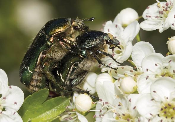 Cetonia aurata - Goldglänzende Rosenkäfer - Fam. Cetoniidae - Scarabaeoidea - Blatthornkäfer - scarab beetles