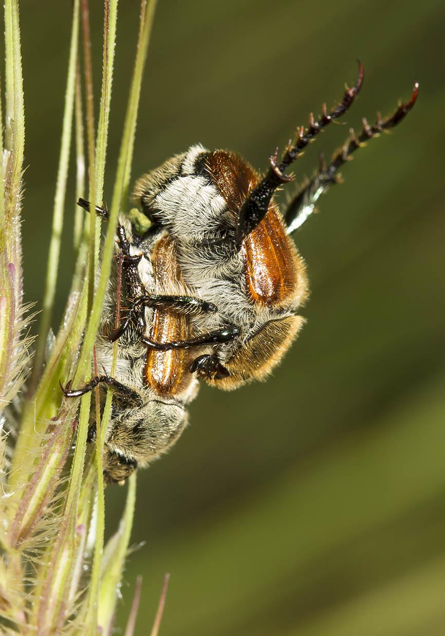 Chaetopteroplia segetum - Südlicher Getreidelaubkäfer - Fam. Rutelidae  -  Meteora - Thessalien - Scarabaeidea - Blatthornkäfer - scarab beetles