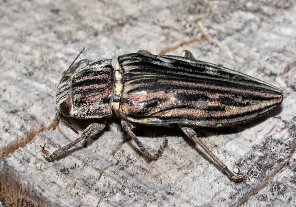 Chalcophora mariana - Marien-Prachtkäfer -  - Buprestidae - Prachtkäfer -  jewel beetles