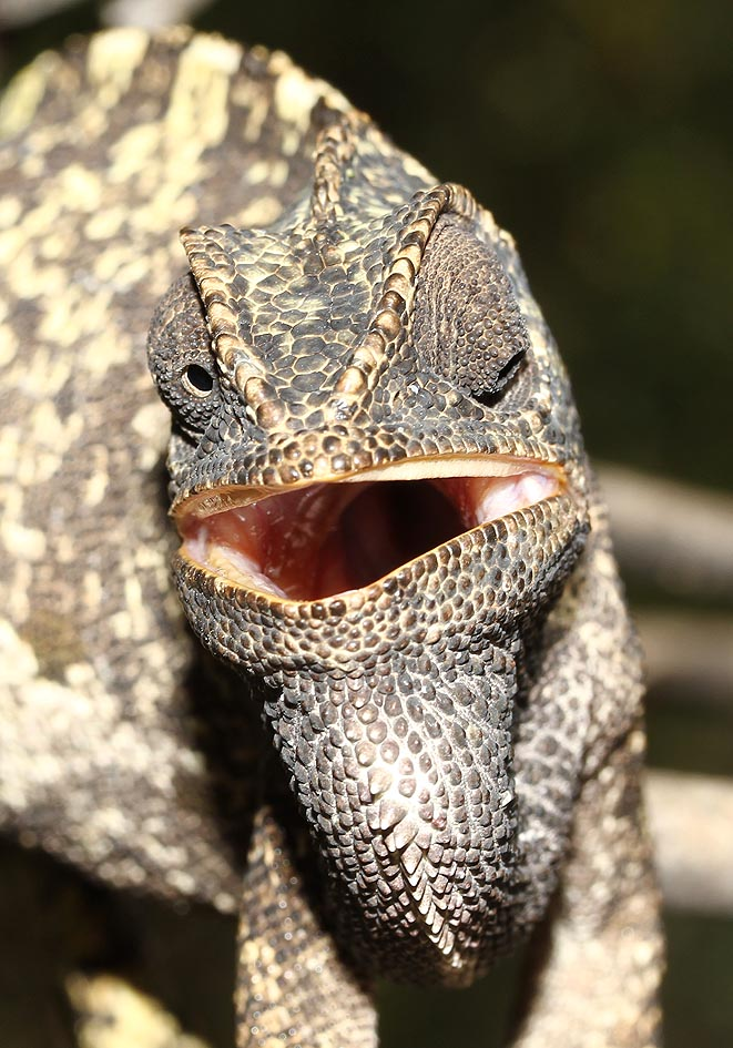 Chamaeleo chamaeleon - Gemeines Chamäleon - Samos - Lacertilia - Echsen - lizards