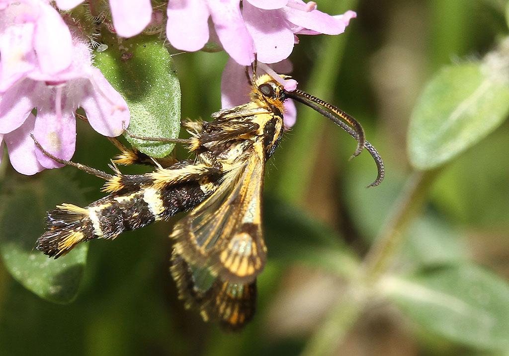 Chamaesphecia  empiformis  - Zypressenwolfsmilch-Glasflügler - Fam. Sesiidae - Glasflügler -