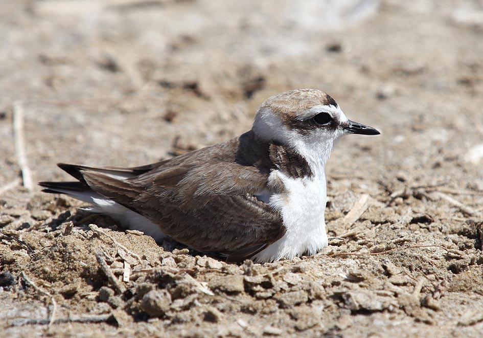 Charadrius alexandrinus - Seeregenpfeifer - brütend (Naxos) - Aves - Vögel - birds