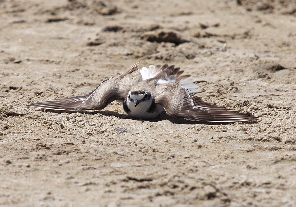 Charadrius alexandrinus - Seeregenpfeifer - Ablenkung vom Nest (Naxos) - Aves - Vögel - birds