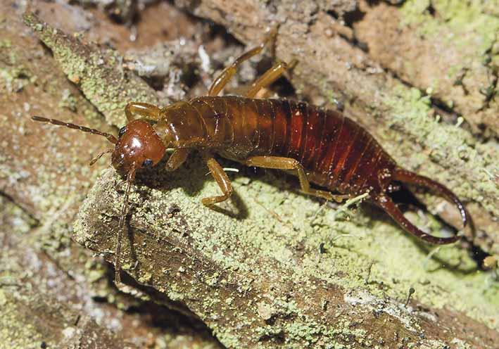 Chelidura acanthopygia male  - Waldohrwurm -  - Dermaptera - Ohrwürmer - earwigs