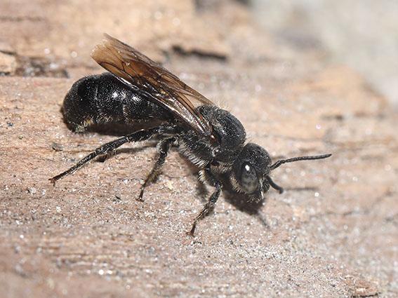 Chelostoma rapunculi - Glockenblumen-Scherenbiene -  - Apiformes - Megachilidae - Bienen - bees
