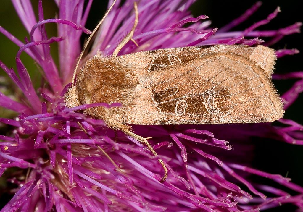 Chersotis cuprea - Kupfereule -  - Noctuidae - Eulen - owlet moths