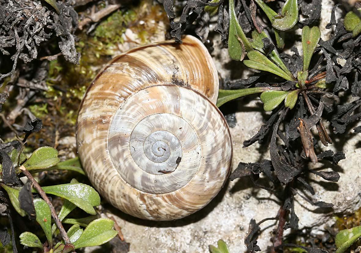 Chilostoma cingulatum - Felsenschnecke - Fam. Helicidae - Schnirkelschencken - Stylommatophora - Landlungenschnecken - snails, slugs