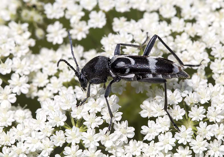Chlorophorus figuratus  - Schulterfleckiger Widderbock - UFam. Cerambycinae  -  Zagori (Griechenland) - Cerambycidae - Bockkäfer - long-horned beetles