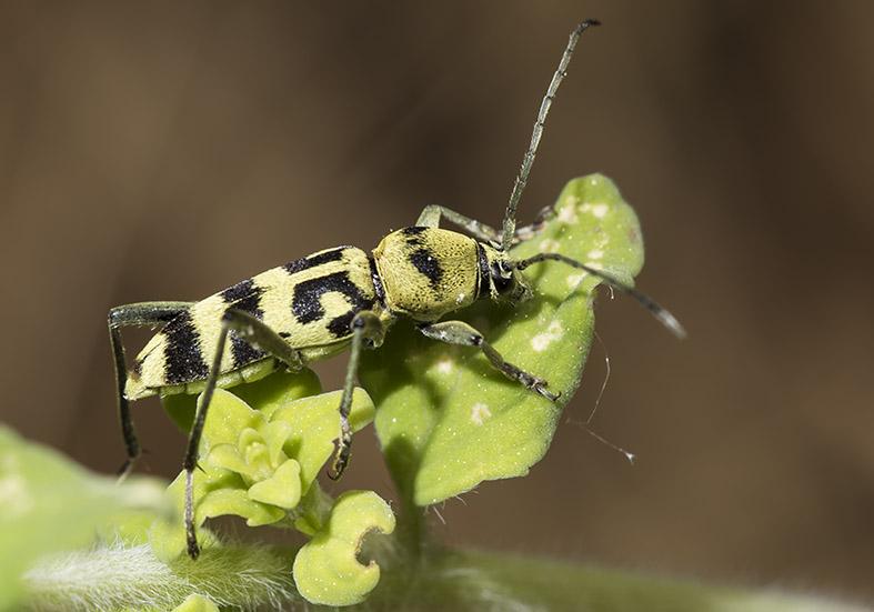 Chlorophorus varius  - Veränderlicher Widderbock - UFam. Cerambycinae  -  Pilion (Griechenland) - Cerambycidae - Bockkäfer - long-horned beetles
