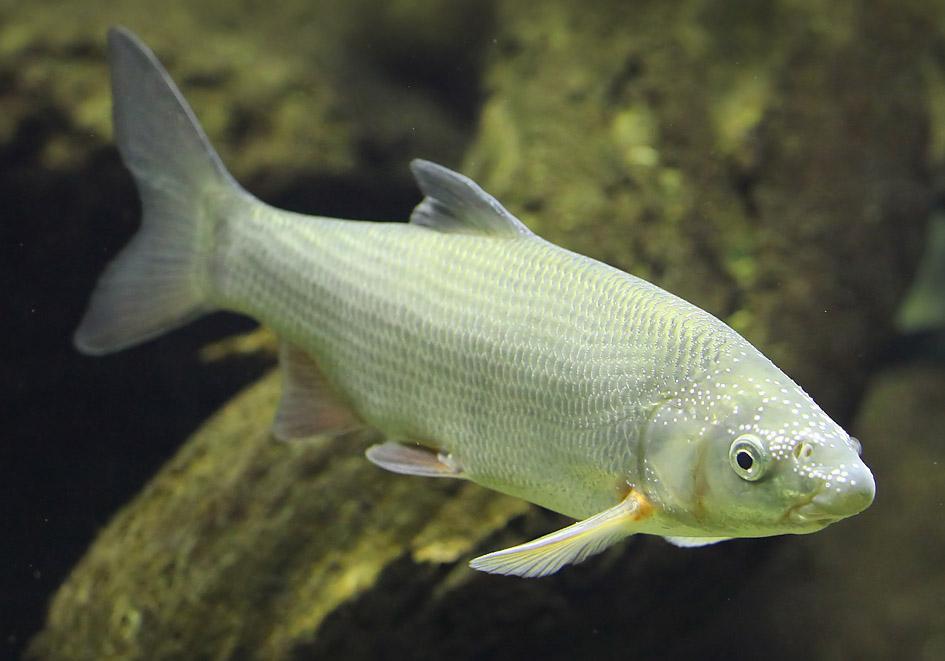 Chondrostoma nasus - Nase - Alpenzoo - Cypriniformes - Karpfenartige