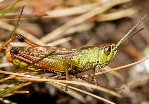 Chorthippus parallelus - Gemeiner Grashüpfer  - UFam. Gomphocerinae - Acrididae - Feldheuschrecken - grasshoppers