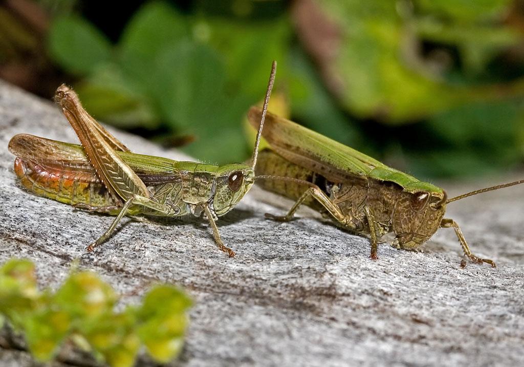 Chortippus dorsatus - Wiesengrashüpfer  - UFam. Gomphocerinae - Acrididae - Feldheuschrecken - grasshoppers
