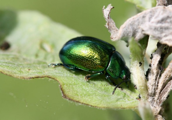 Chrysolina herbacea - Minzblattkäfer -  - Chrysomelidae - Blattkäfer - leaf beetles