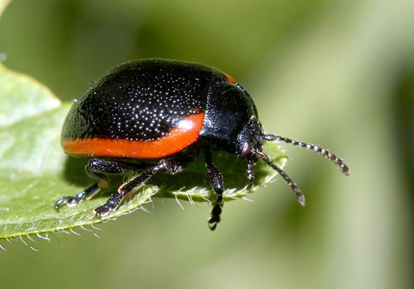 Chrysolina sanguinolenta - Rotsaum-Blattkäfer -  - Chrysomelidae - Blattkäfer - leaf beetles