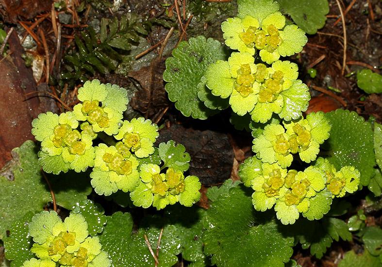 Chrysosplenium alternifolium - Wechselblättriges Milzkraut - Fam. Saxifragaceae - Wald - forest