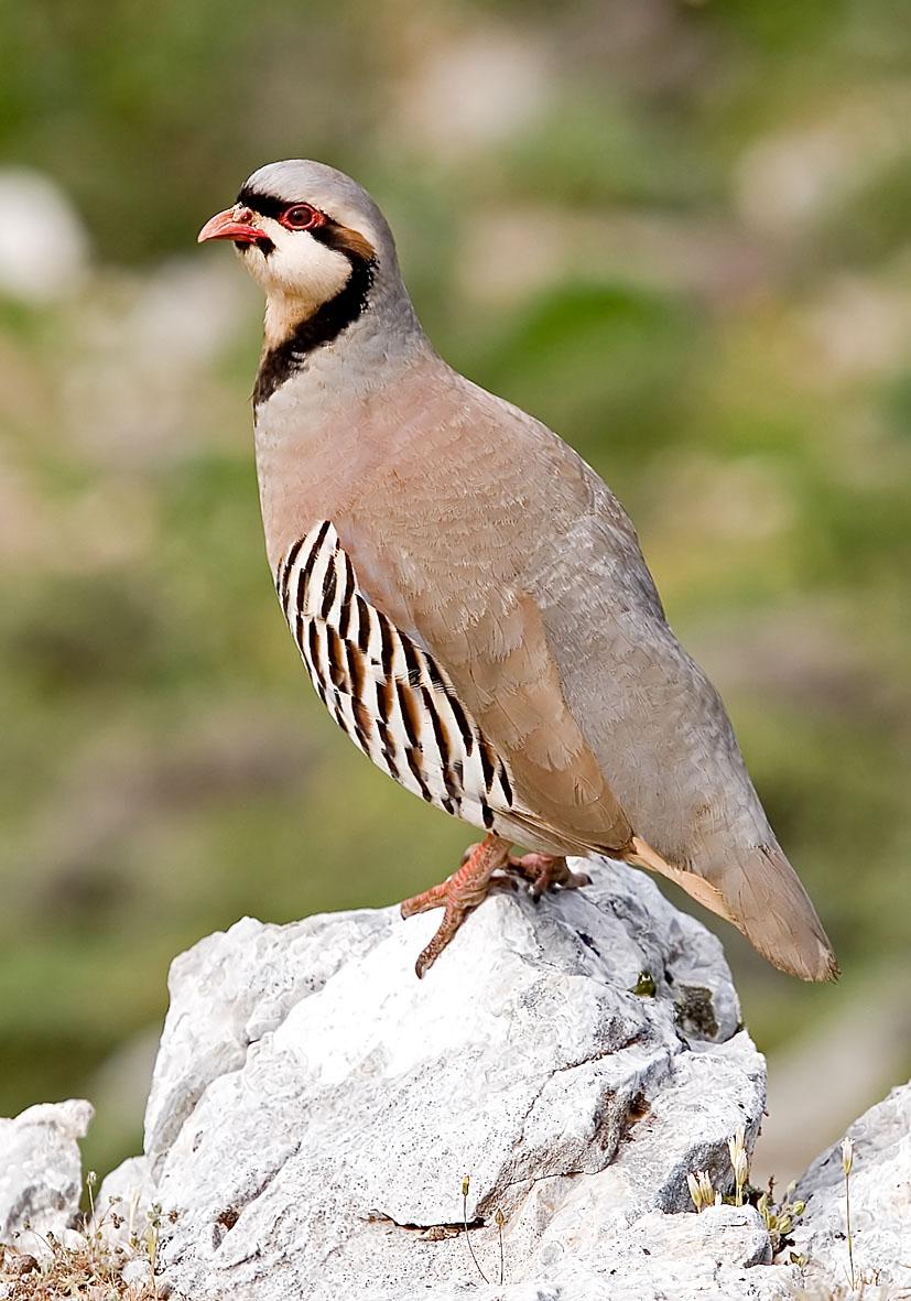Alectoris chukar - Chukarhuhn   - Naxos - Aves - Vögel - birds