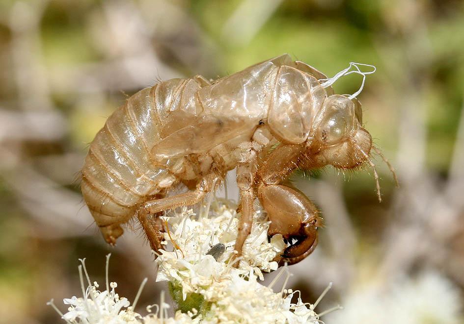 Singzikade (Exuvie) - Fam. Cicadidae  (Singzikaden)   -  Amorgos - Auchenorrhyncha - Zikaden - cicada