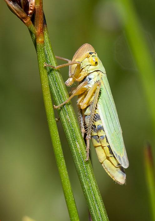 Cicadella viridis Binsen - Schmuckzikade -  - Cicadoidea - Zikaden - cicadas