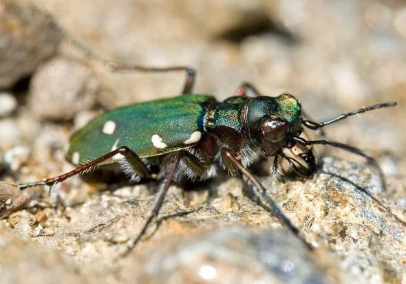 Cicindela campestris - Feld-Sandläufer -  - Carabidae - Laufkäfer - ground beetles