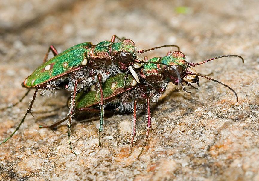Cicindela campestris suffriani -Sandlaufkäfer   - Naxos - Carabidae - Laufkäfer - ground beetles
