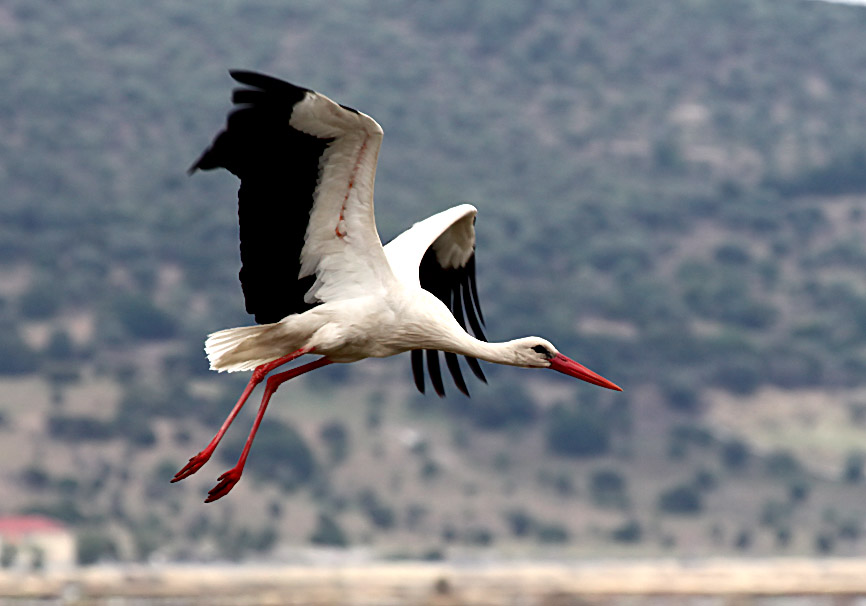 Ciconia ciconia - Weissstorch - Lesbos - Aves - Vögel - birds