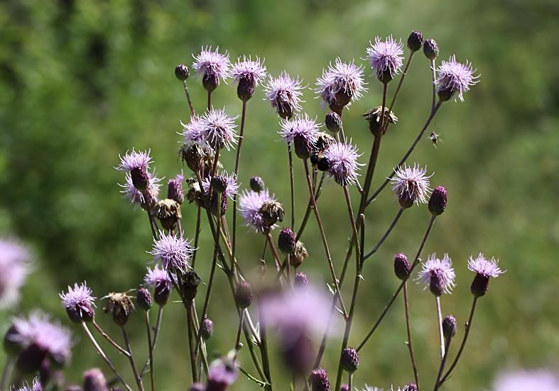 Cirsium arvense - Acker-Kratzdistel - Fam. Asteraceae - Wegrand, Ruderalpflanzen - ruderal species