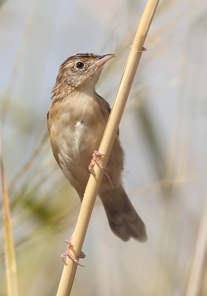 Cisticola juncidis - Cistensänger - Samos - Aves - Vögel - birds