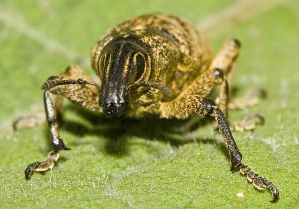 Cleonis pigra - Distelgallenrüssler -  - Curculionidae - Rüsselkäfer - weevils