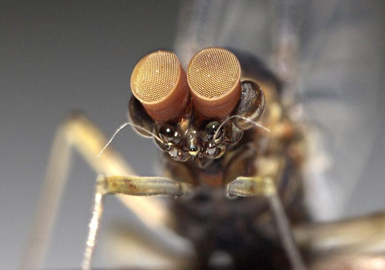 Cloeon dipterum Turbanauge -  - Ephemeroptera - Eintagsfliegen - mayflies