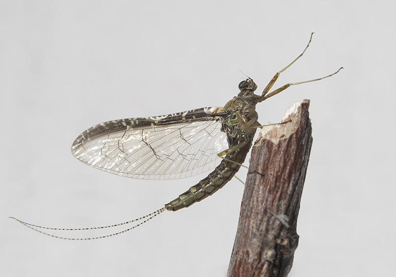 Cloeon dipterum female imago -  - Ephemeroptera - Eintagsfliegen - mayflies