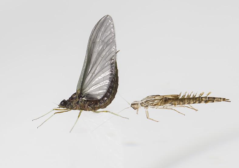 Cloeon dipterum hatched -  - Ephemeroptera - Eintagsfliegen - mayflies