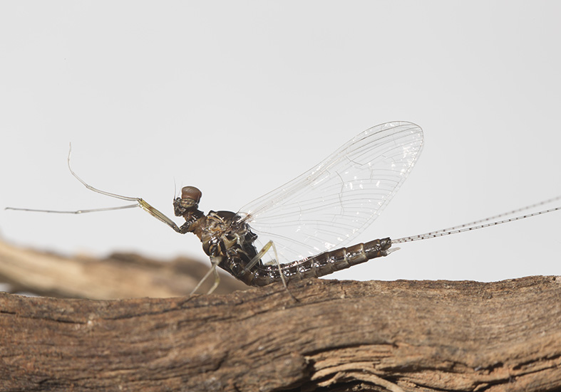 Cloeon dipterum male imago -  - Ephemeroptera - Eintagsfliegen - mayflies
