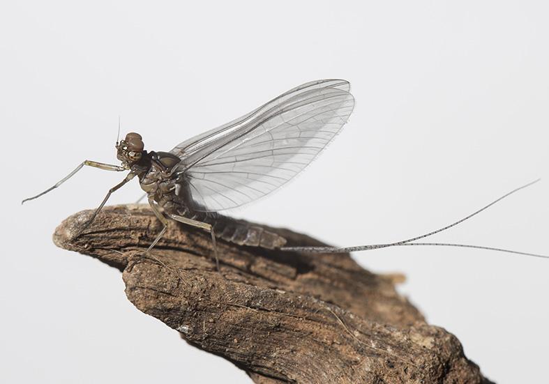 Cloeon dipterum male subimago -  - Ephemeroptera - Eintagsfliegen - mayflies