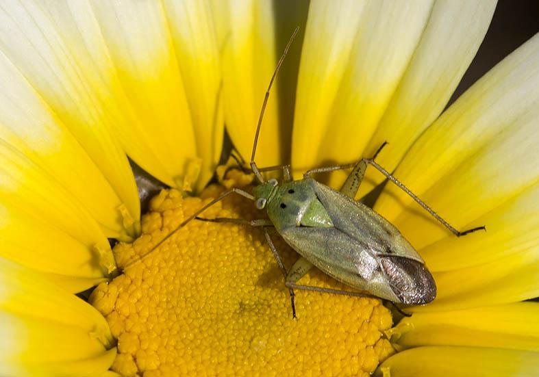 Closterotomus norvegicus - Fam. Miridae  -  Amorgos - Heteroptera - Wanzen - true bugs