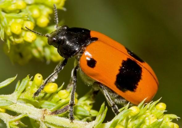 Clytra laeviuscula - Ameisenblattkäfer -  - Chrysomelidae - Blattkäfer - leaf beetles