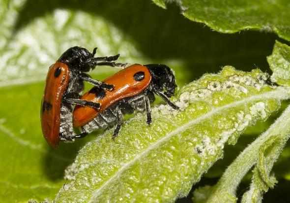 Clytra quadripunctata - Ameisen-Blattkäfer -  - Chrysomelidae - Blattkäfer - leaf beetles