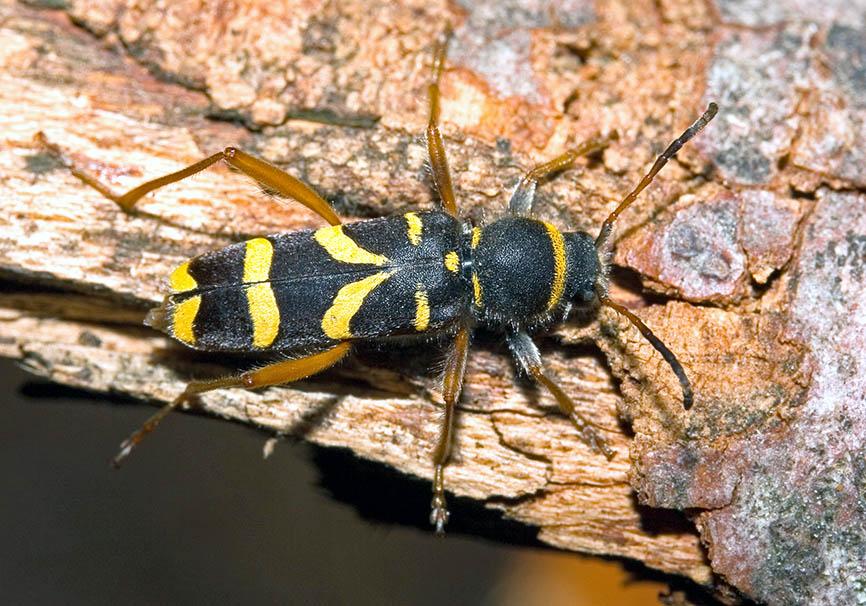 Clytus arietis - Widderbock - UFam. Cerambycinae - Cerambycidae - Bockkäfer - long-horned beetles