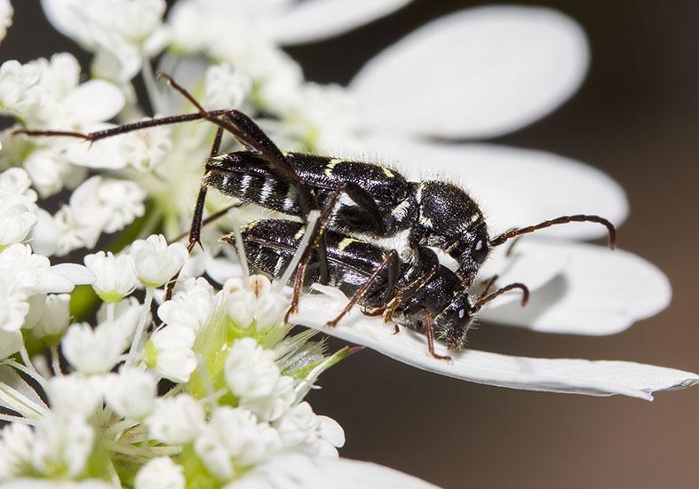 Clytus lama - UFam. Cerambycinae  -  Kroatien - Cerambycidae - Bockkäfer - long-horned beetles