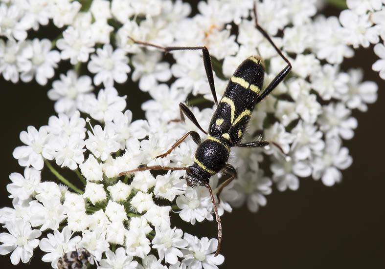 Clytus rhamni  - UFam. Cerambycinae  -  Pilion (Griechenland) - Cerambycidae - Bockkäfer - long-horned beetles