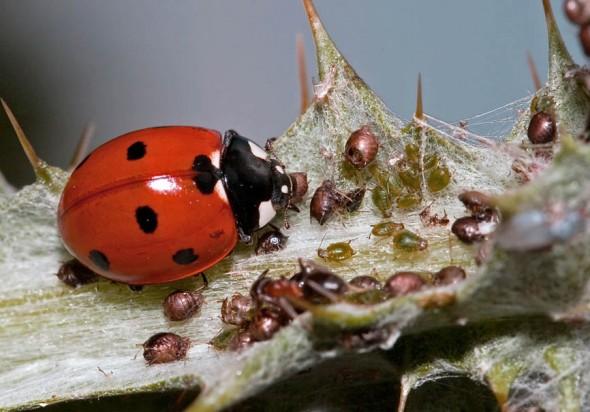 Coccinella septempunctata - Siebenpunkt Marienkäfer -  - Coccinellidae - Marienkäfer - lady beetles