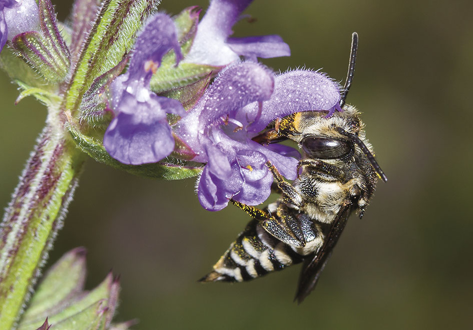 Coelioxys conoidea - Kegelbiene - Kuckucksbiene bei Megachile - Apidae - Megachilinae - Bienen - bees