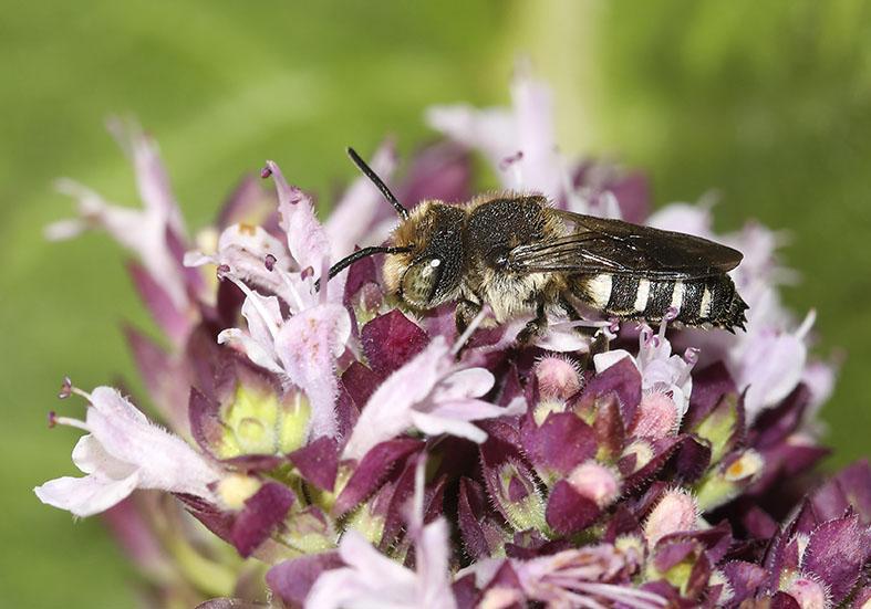Coelioxys mandibularis - Mandibel-Kegelbiene -  - Apiformes - Megachilidae - Bienen - bees