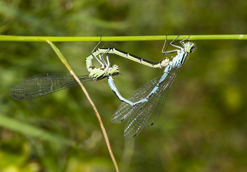 Coenagrion hastulatum  Speer-Azurjungfer - Fam. Coenagrionidae - Schlanklibellen - Zygoptera - Kleinlibellen - damselflies